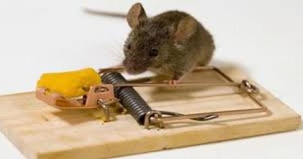 Bagaimana Cara Menangkap Tikus